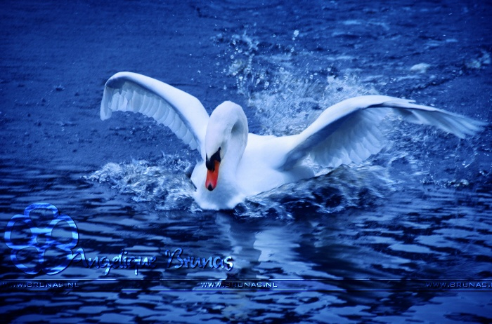 Brunas.nl The mad swan ;-) #brunas #blue #water #swan