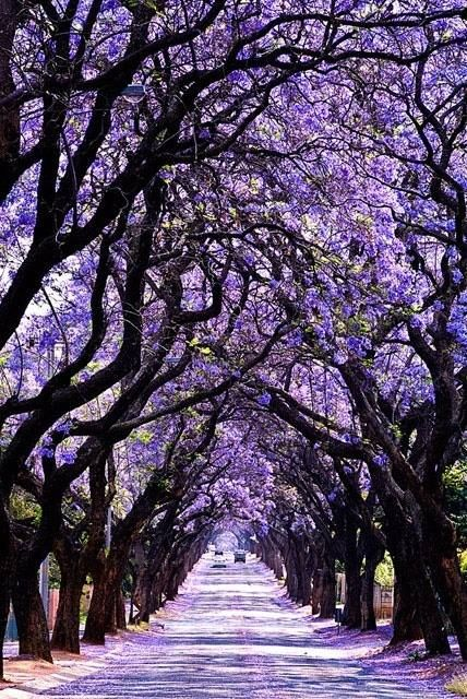 Jacaranda blooms in the spring in Buenos Aires and transforms the city (October - November).