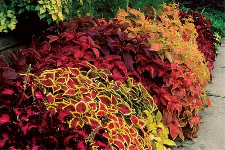 Instructions on how to propagate variegated coleus in the fall so that you'll have spring plants.