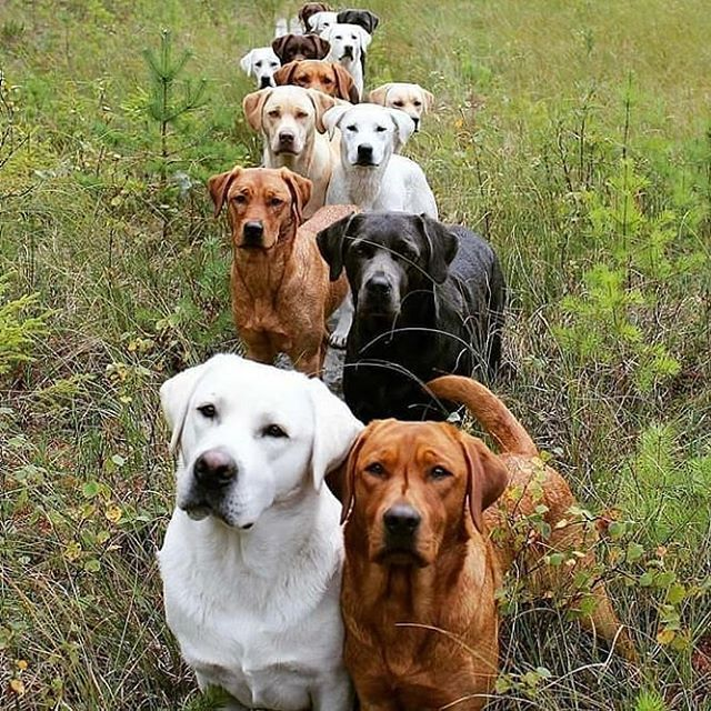 Labrador Well If I Cant Have A Pack Of Wolves I Ll Take A Pack Of