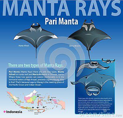 Vector illustration, info graphic various type of manta rays or pari manta