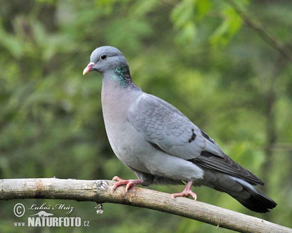 Stock Dove (Columba oenas)