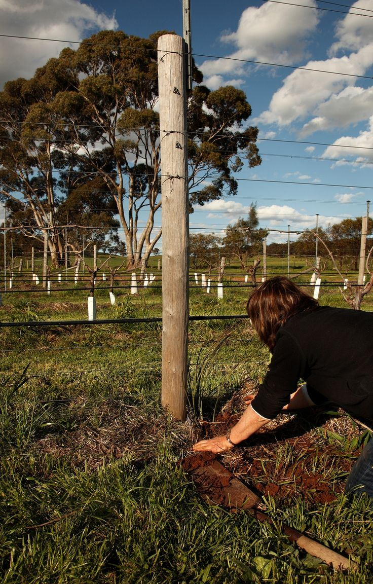 Use of native nectar-providing plants in and around vineyards to feed beneficial insects for predation on pests such as Light Brown Apple Moth. Sweet Bursaria (Bursaria Spinosa) planted at ends of rows and Lomandra in the row - all part of Ecosystem Services system in the vineyard