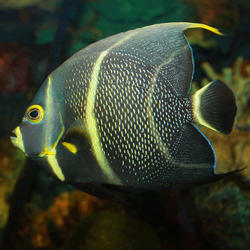 french angel fish | French Angelfish (Pomacanthus paru)