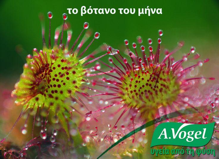 Δροσέρα (Drosera Rotundifolia)  Η ονομασία του βοτάνου προέρχεται από την Ελληνική λέξη δροσιά και αναφέρεται στα σταγονίδια που σχηματίζονται στις άκρες των τριχοειδών του σαρκοφάγου φυτού.Μελέτες που διεξήχθησαν σε ανθρώπους έχουν αποδείξει ότι η δροσέρα είτε όταν χρησιμοποιείται μόνη είτε σε συνδυασμό με άλλα βότανα, μπορεί να αντιμετωπίσει το βήχα που σχετίζεται με βρογχίτιδα, φαρυγγίτιδα, λαρυγγίτιδα, ακόμα και κοκκίτη.