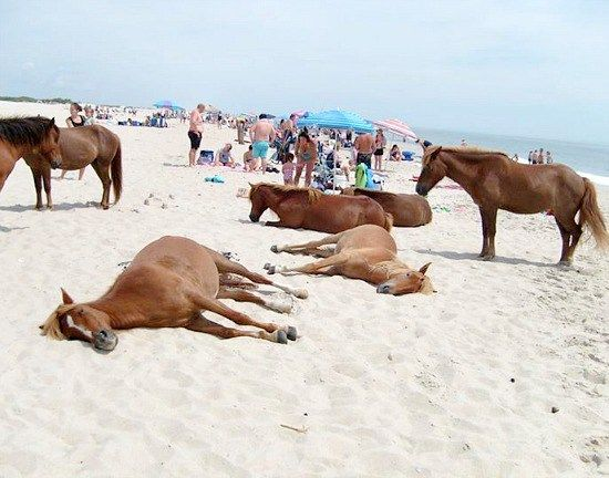 Wild horse beach on Assateague Island in Maryland and Virginia, USA. Perfect holiday destination for horse fans!