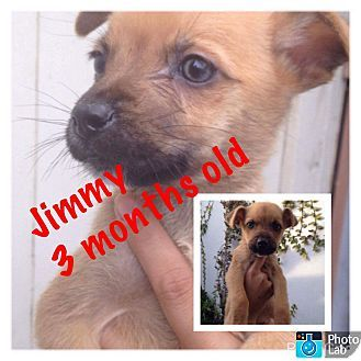 LAKEWOOD, CA - Cairn Terrier/Terrier (Unknown Type, Small) Mix. Meet Jimmy, a puppy for adoption. http://www.adoptapet.com/pet/17317940-lakewood-california-cairn-terrier-mix