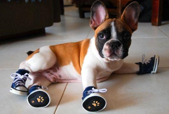 Booties! #FrenchBulldog