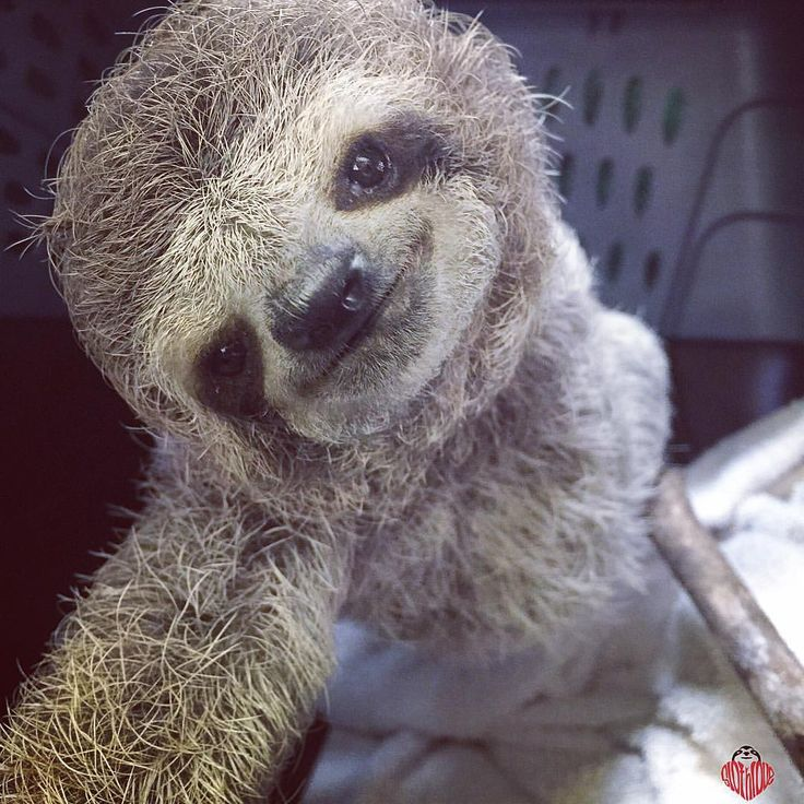 primatography: Newest addition to the KSTR sloth family. Poor little guy was…