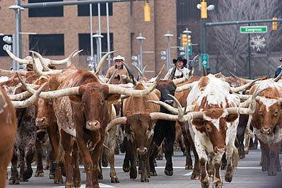 Longhorns in Ft Worth! This is a must see! Everyday they herd them around the Historic Stockyards District!