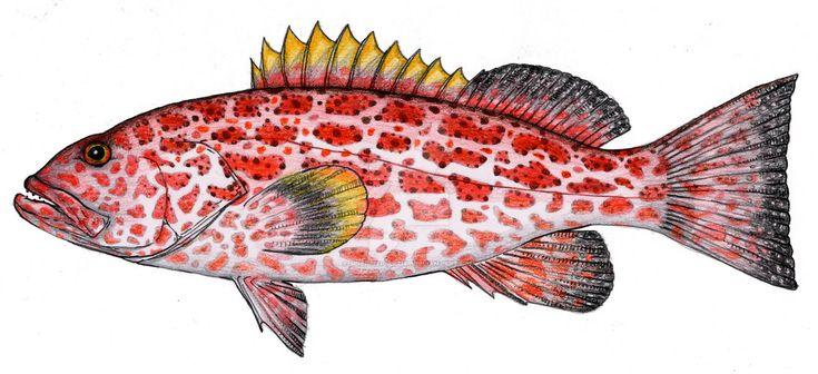 A scientific illustration of a Mahi-Mahi.