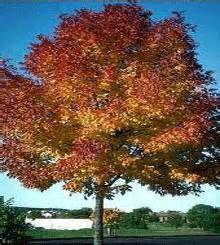 Autumn Purple Ash Tree.