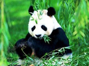 Panda Bear Eating High Definition Wallpaper