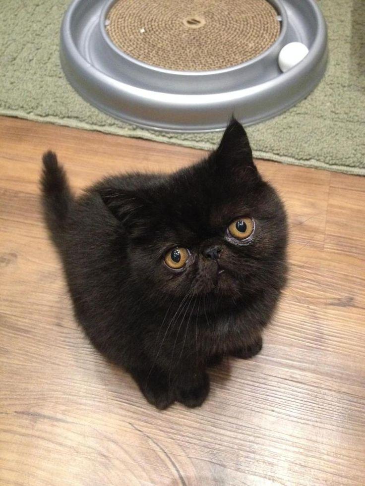 Exotic Shorthair Kitten I love cute animals Pinterest