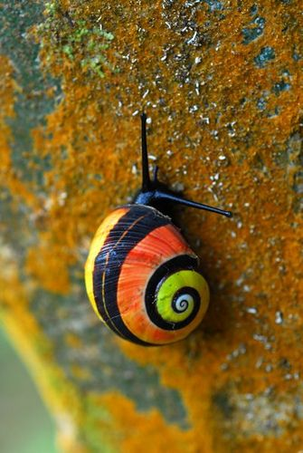 "Polymita picta, common name the ""Cuban land snail"" or the ""painted snail"", is a species of large, air-breathing land snail, a terrestrial pulmonate gastropod mollusk in the family Helminthoglyptidae."