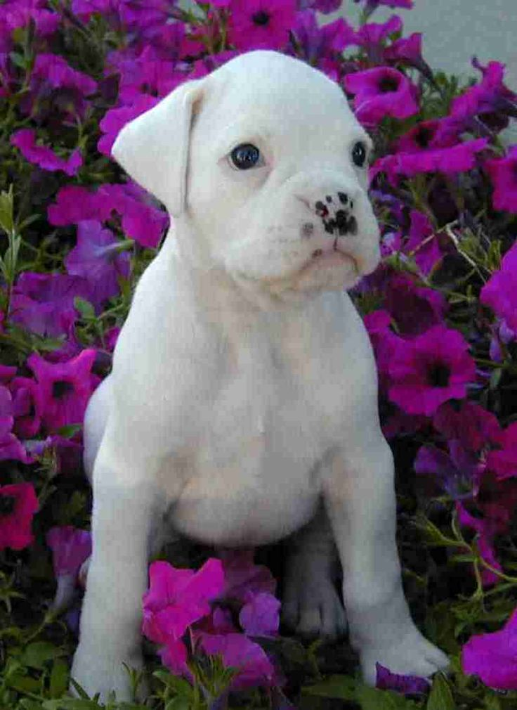 White Boxer puppy...look at those freckles
