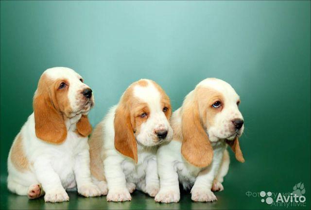 бассет хаунд щенки фото - Поиск в Google