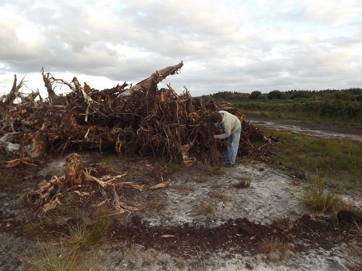 my friend Ger checking out a large piece of bog oak ..Hard to come across these days