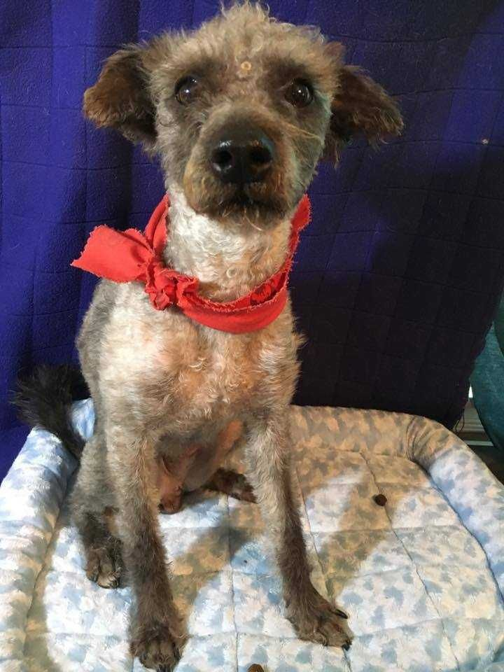 Poodle (Miniature) dog for Adoption in Sylmar, CA. ADN-559127 on PuppyFinder.com Gender: Male. Age: Young