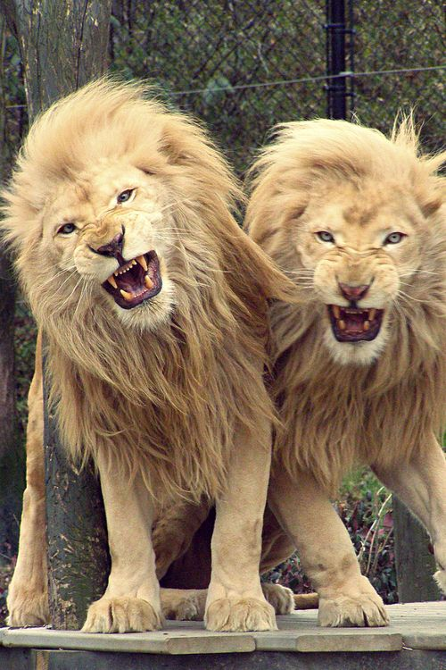 Www Bing Com1 Microsoft Way Redmond: 378 Best Images About Lion ºKingº On Pinterest