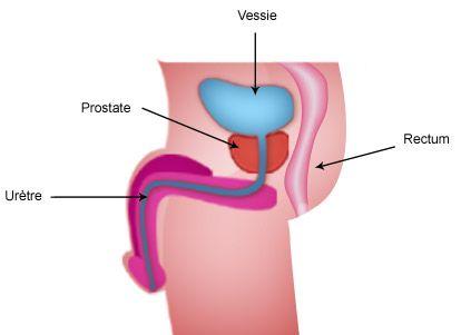 La prostate est une glande qui fait partie de l'appareil reproducteur masculin. Elle est située sous la vessie, en avant du rectum. Elle entoure le canal de l'urètre qui conduit l'urine de la vessie vers l'extérieur. Cette position explique les problèmes urinaires de la #prostate.