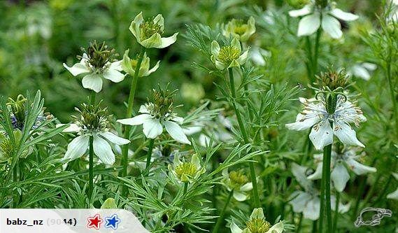 ( Black Cumin)  Botanical Name: Nigella sativa  Black Cumin is one of the most revered medicinal seeds in history.