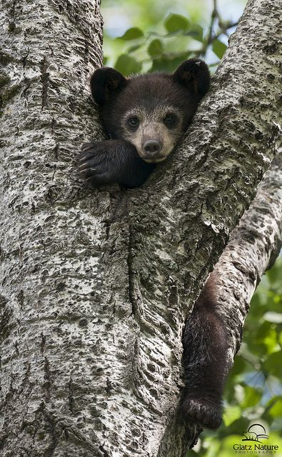 Black Bear cub in tree. Photo by Glatz Nature Photography