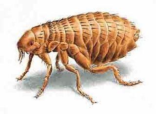 O que significa sonhar com pulgas.
