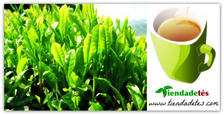 """""""10 beneficios de beber té verde"""" y un nuevo diseño que no os podéis perder... ¡¡Y por supuesto en www.tiendadetes.com la mejor variedad y calidad de té verde!! http://tienda-de-tes.blogspot.com.es/2015/03/10-beneficios-de-beber-te-verde.html"""