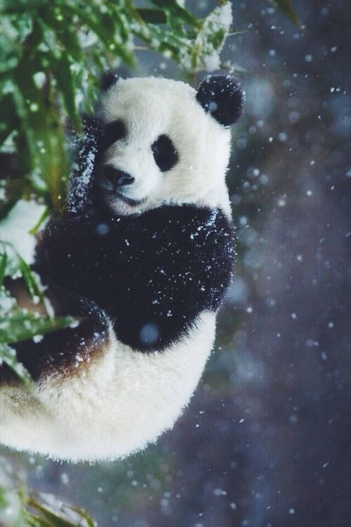 Lovely Panda in snow (by Jona Lila) #WOWanimals #WOWparksandzoos
