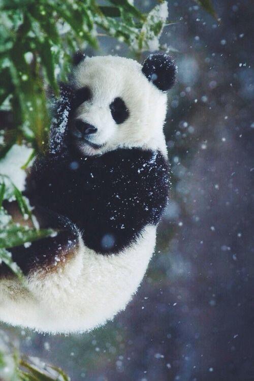 Lovely Panda in snow  (by Jona Lila) #WOWanimals #WOWparksandzoos