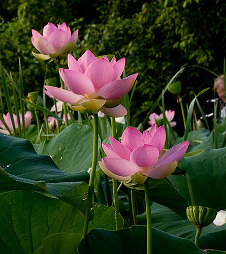 You can find everything for your pond at Sunland Water gardens. Lotus are a beautiful addition to any pond