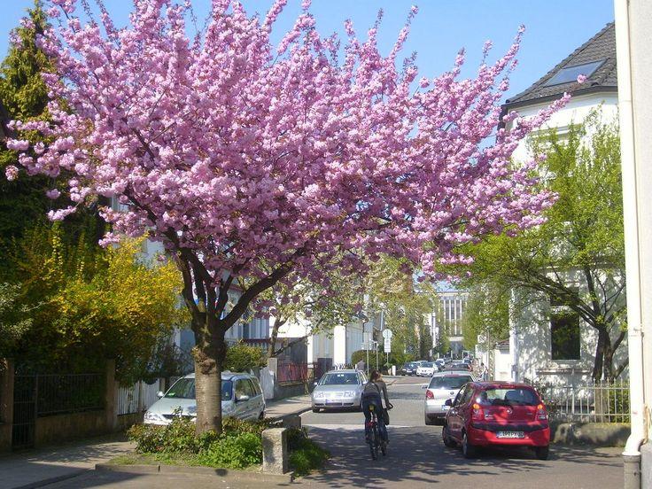 Kirschbaum Luisenstraße; Ort: Luisenstraße, Ecke Bielsteinstraße; Baumart: Japanische Blütenkirsche; Zeit: April 2011; Fotos: Jens J. Korff