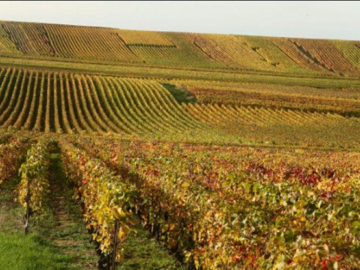 L'Inra et l'interprofession viticole signe au Salon de l'agriculture un accord pour le développement de vignes résistantes au mildiou