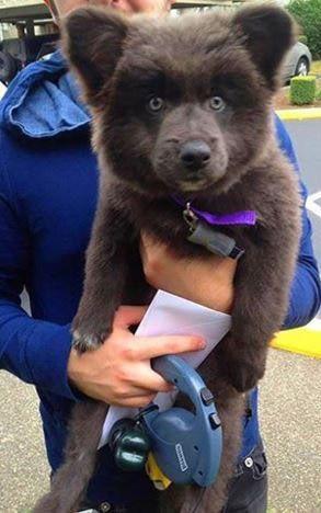 German Shepherd + Akita-Corgi = bear cub