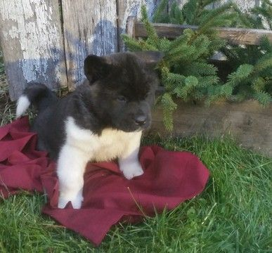 Litter of 8 Akita puppies for sale in FRESNO, OH. ADN