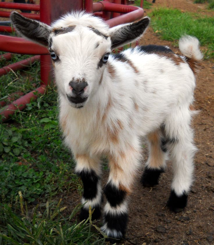 Nigerian Dwarf Goats | Jupiter - Nigerian Dwarf Goat Buck