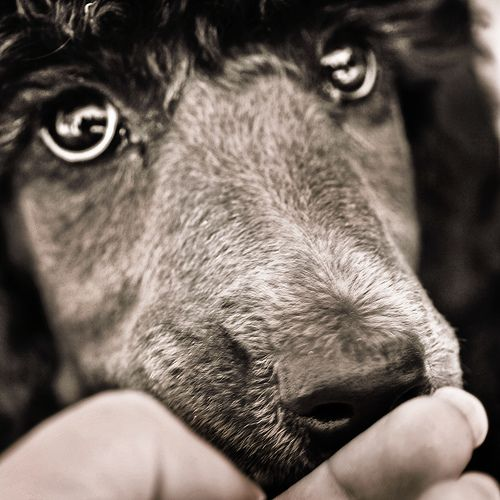 Standard Poodle. Who can resist those spoo eyes?