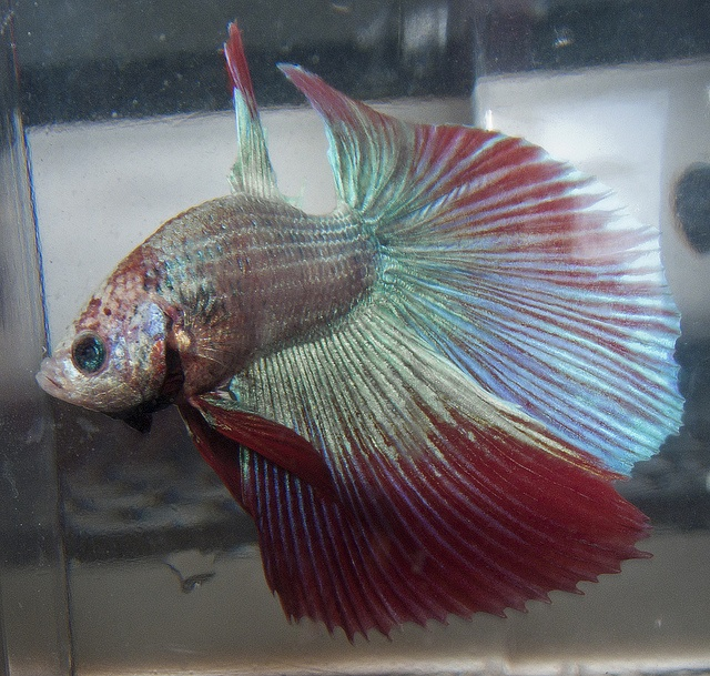 17 best images about betta fish on pinterest copper for How much does a betta fish cost