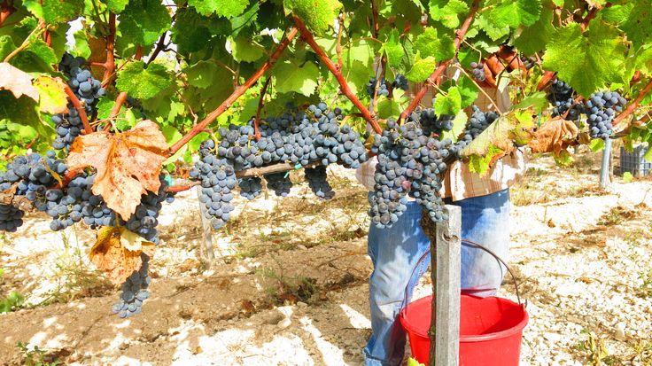 Fikardos Winery organic mataro grapes