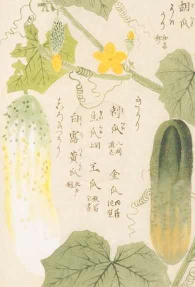 cucumber   胡瓜(キュウリ)   本草図譜 岩崎 灌園 Honzo-Zufu, KanEn Iwasaki (1830)
