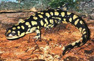 "Eastern Tiger Salamander- one of the largest terrestrial salamanders in the United States. The biggest specimen recorded was 13 inches long. The average size ranges between seven and eight inches. The tiger salamander spends most of its life underground, as do other members of the group referred to as ""mole salamanders."" This salamander ranges along the east coast from southern New York to northern Florida, from Ohio to Minnesota and southward through eastern Texas to the Gulf."