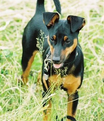 Toy Manchester Terrier with an undocked tail and uncropped years.
