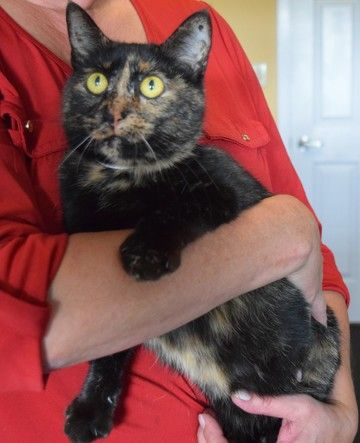 Check out Miss Kitty's profile on AllPaws.com and help her get adopted! Miss Kitty is an adorable Cat that needs a new home. https://www.allpaws.com/adopt-a-cat/domestic-short-hair/5197433?social_ref=pinterest