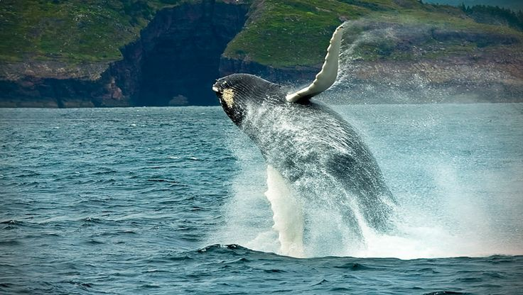 whale in Newfoundland and Labrador, Canada