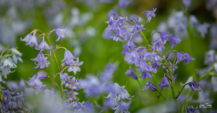 Beautiful bluebells x
