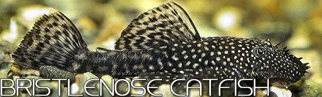 Bristlenose Catfish (Ancistrus sp), also called Bushynosoe Pleco or Bristlenose Pleco, is a tropical fish species that many hobbyists would like to raise because of its hardiness and ease of management.