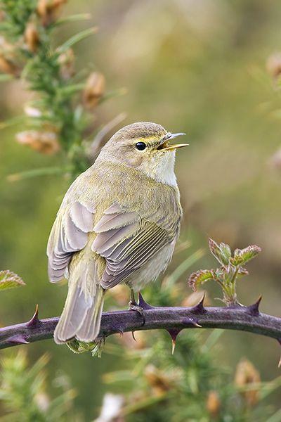 Warblers - Mark Hancox Bird Photography. Chiff Chaff. A breeding summer visitor .