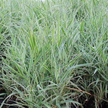Phalaris arundinacea 'Picta'RandgräsHÖJD: 100 cmBLOMNING: Juli-Aug