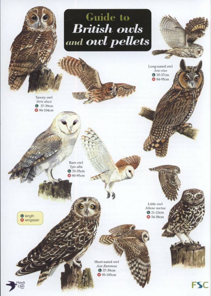17 Best images about Owls: Raptors of the Night on Pinterest ...